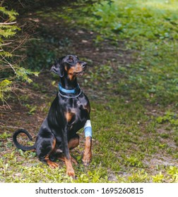 Black Doberman with wounded paw.