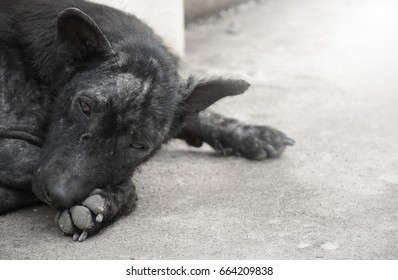 Black dog abandoned Lying on the cement floor, there are sad faces. Filled with dirt and dandruff skin.
