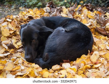 Black dog all curled up taking a nap in a pile of yellow autumn leaves on the ground