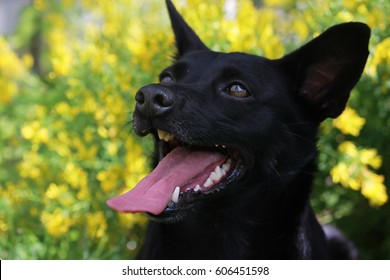 Stupendous Kelpie Puppy Images Stock Photos Vectors Shutterstock Pdpeps Interior Chair Design Pdpepsorg