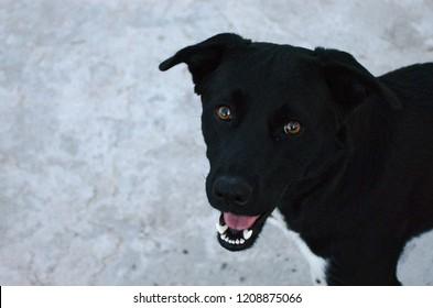 Black dog Borador (Labrador + Border Collie) watching camera and smiling