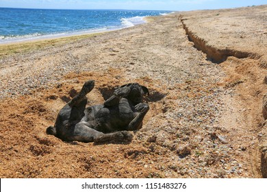 A black dog of the Cane-Corso breed lies on the sand by the sea on a sunny summer day