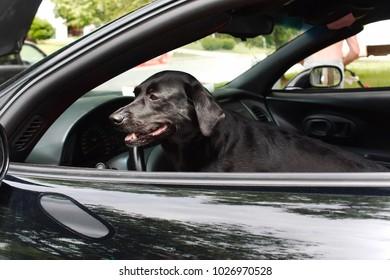 black dog in a black car
