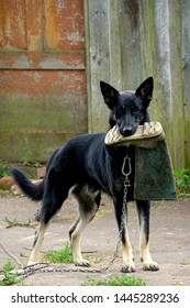 A black dog at the chain with a crushed green boot in the mouth
