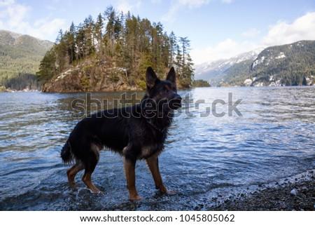 Black Dog German Shepherd Playing Water Stock Photo Edit Now
