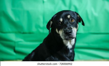 Black dog in green background
