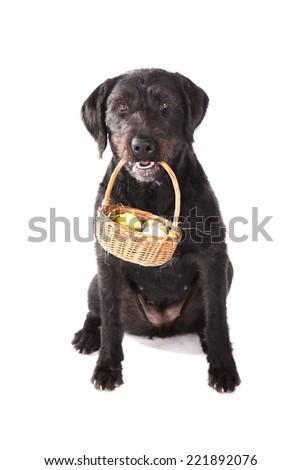 Black Dog Holding Basket Full Easter Stock Photo Edit Now