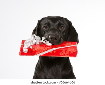 Black dog is holding a Christmas present in it's mouth. Black labrador dog isolated on white background. Red xmas present box.