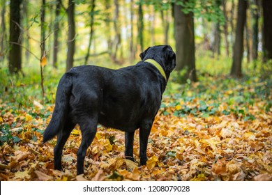 Black dog Labrador Retriever standing in the forest during autumn, dog has green collar, orange leaves are around