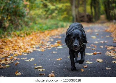 Black dog Labrador Retriever walking in the forest during autumn, dog has green collar, orange leaves are around on the path