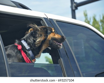 Black dog looking out with head outside the car window
