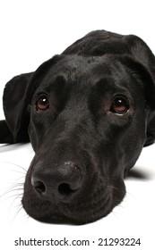 black dog looking sad on white background