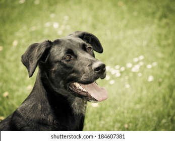black dog in the meadow, labrador mixed breed