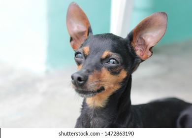 a black dog: mini pinscher