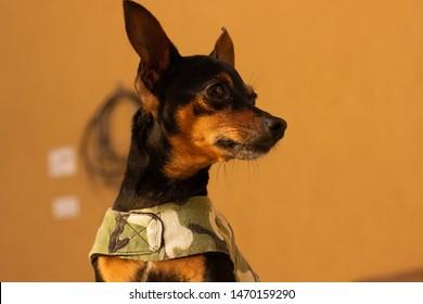 A black dog: mini pinscher looking