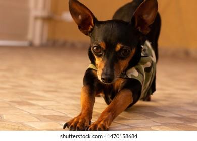 A black dog: Mini Pinscher stretching