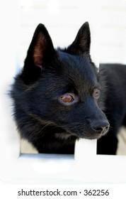 Black dog peeking thorugh porch rails