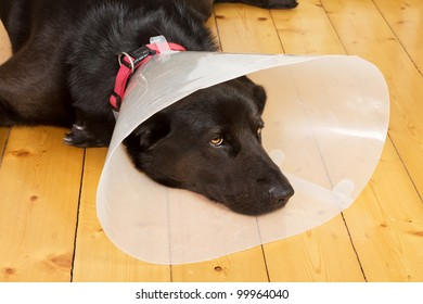 Black dog with a plastic funnel on a wooden floor