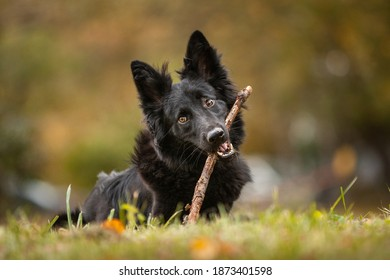 Black dog playing with a stick in the autumn park