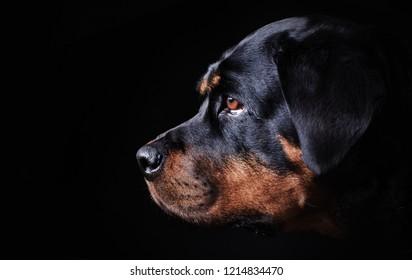 black dog portrait on black background,  rottweiler on a black background in profile