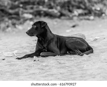 Black dog resting on the beach sand. Black and white photo.