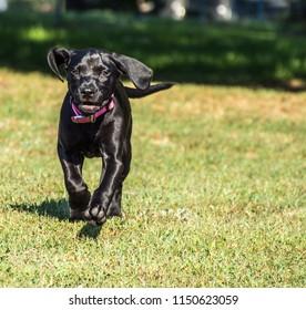 The Black Dog Running