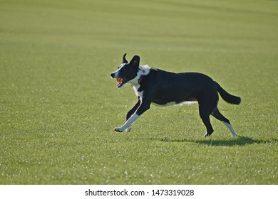 Black dog running and jumping on green field