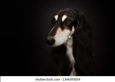 Black dog Saluki and black background
