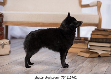 Black dog Schipperke breed female