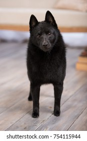 Black dog Schipperke breed male face portrait