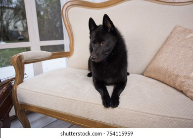 Black dog Schipperke breed portrait