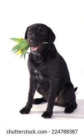 Black dog sitting with a flower in its mouth on a white background
