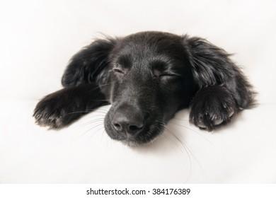 Black dog is sleeping in the studio