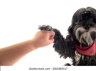 Black dog stops a human fist in front of white background