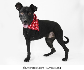 Black dog with three legs, tripod, missing leg, disability, isolated, white background