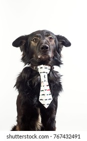 black dog with tie, sits on the white background.