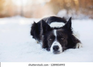 Black dog with white signs Border Collie lying in snow with sunlight in background