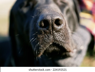 Black dog's nose.