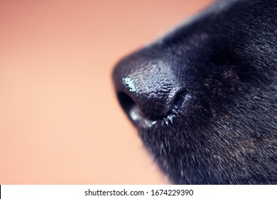 black dog's nose side view close up