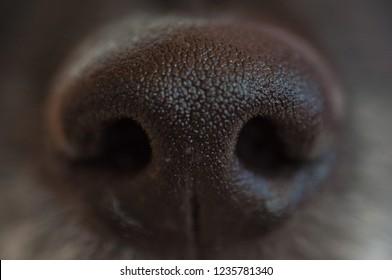 black dog's wet nose close-up