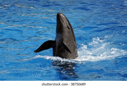 Black dolphin with head out of the water