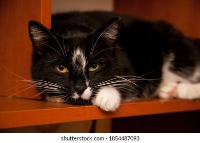 Black domestic cat lying on the shelf