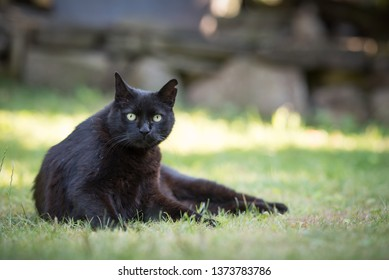 black domestic shorthair cat with notched ear lying on the lawn looking at the camera curiously