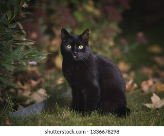 black domestic shorthair cat standing in the garden in front of autumn leaves sticking out tongue