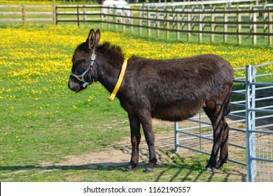 Black Donkey Enjoying the Sunshine in a Paddock