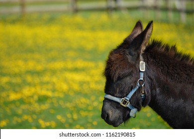 Black donkey with head collar portrait, in a meadow with buttercups.