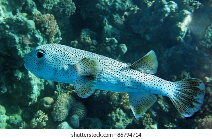 Black dotted porcupine fish in the Red Sea natural environment