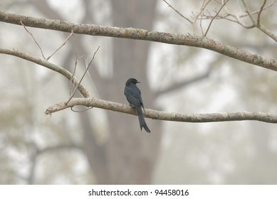 Black Drongo Bird of Thaiand lived in the greenfield background
