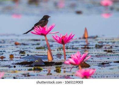Black Drongo ,Dicrurus macrocercus,on pink lotus.