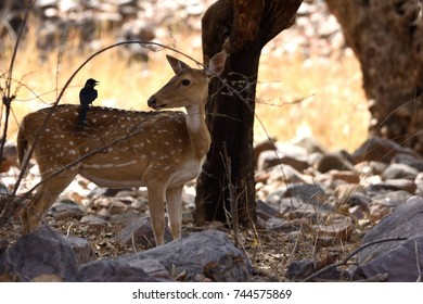 Black drongoon the back of a Spotted Deer in Ranthambore National park in India